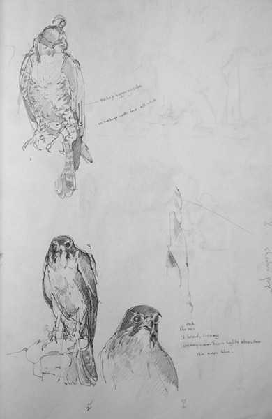 Hooded Falcon and New Zealand Falcon